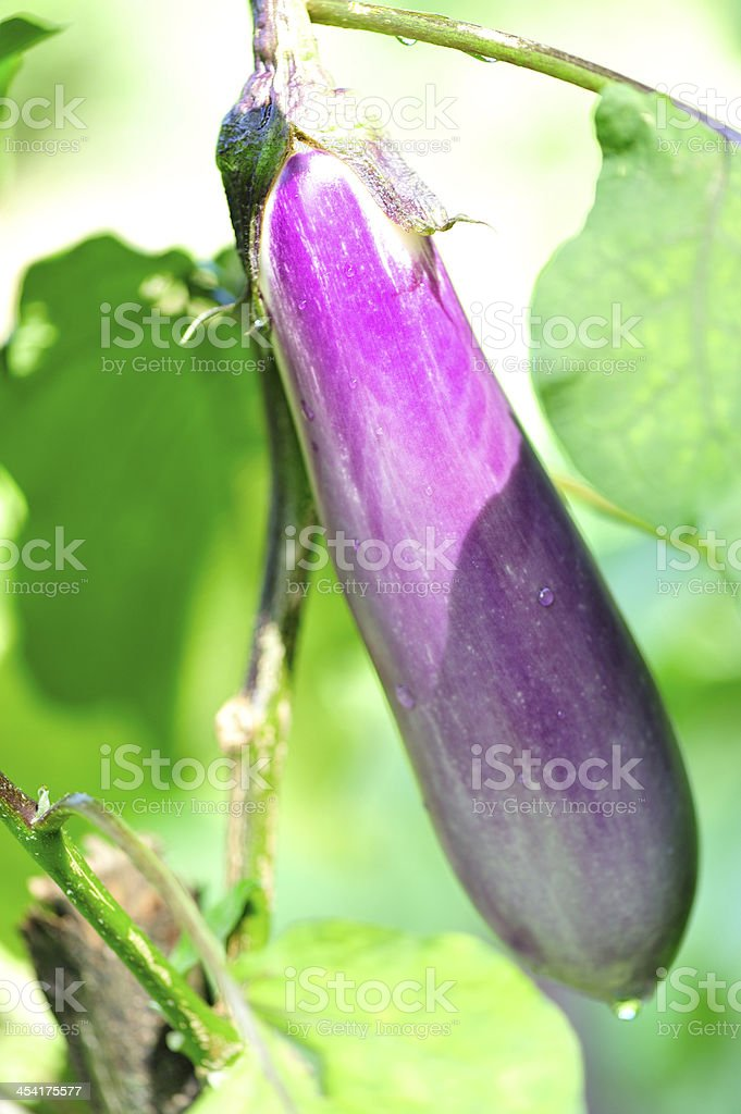 eggplant tree royalty-free stock photo