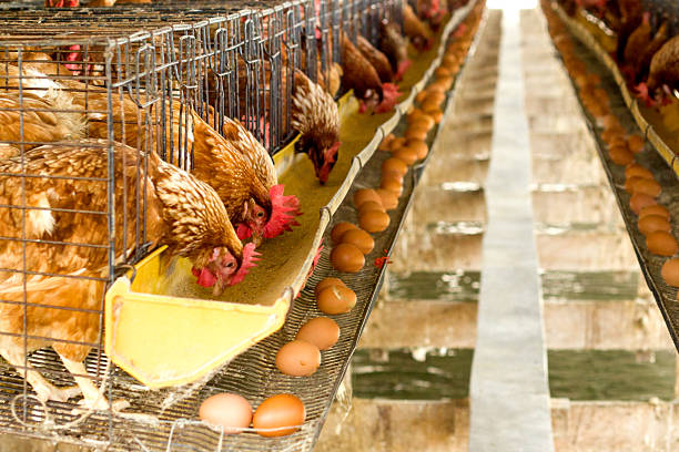 Eggs chicken farm Eggs chicken farm white meat stock pictures, royalty-free photos & images