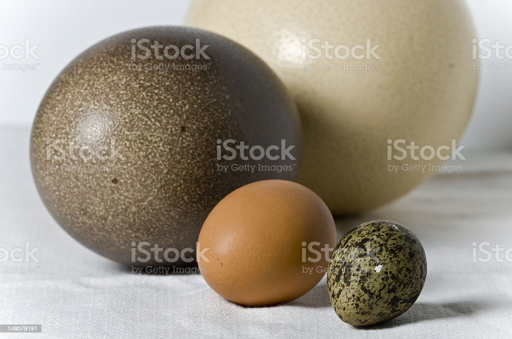 Eggs from chicken, emu, ostrich and lapwing stock photo