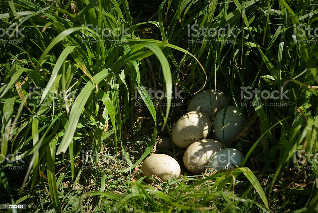 Eggs in a duck's nest royalty-free stock photo