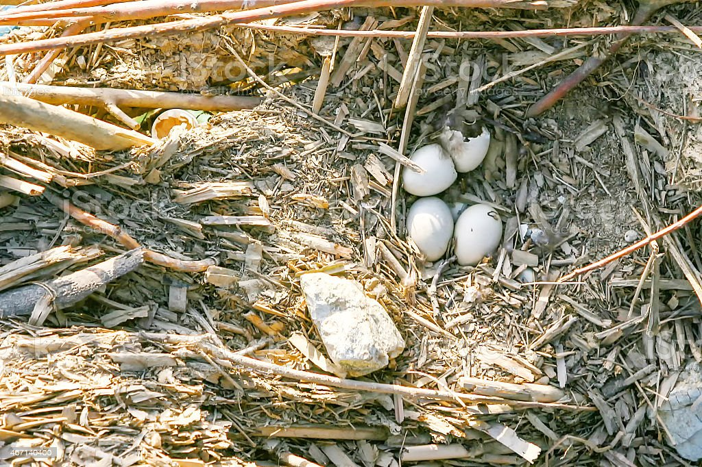 Eggs in bird nest stock photo