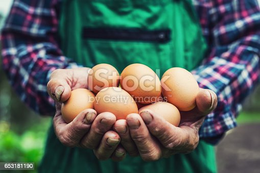 Eggs in hands. Close up of skillful old farmer holding chicken eggs.