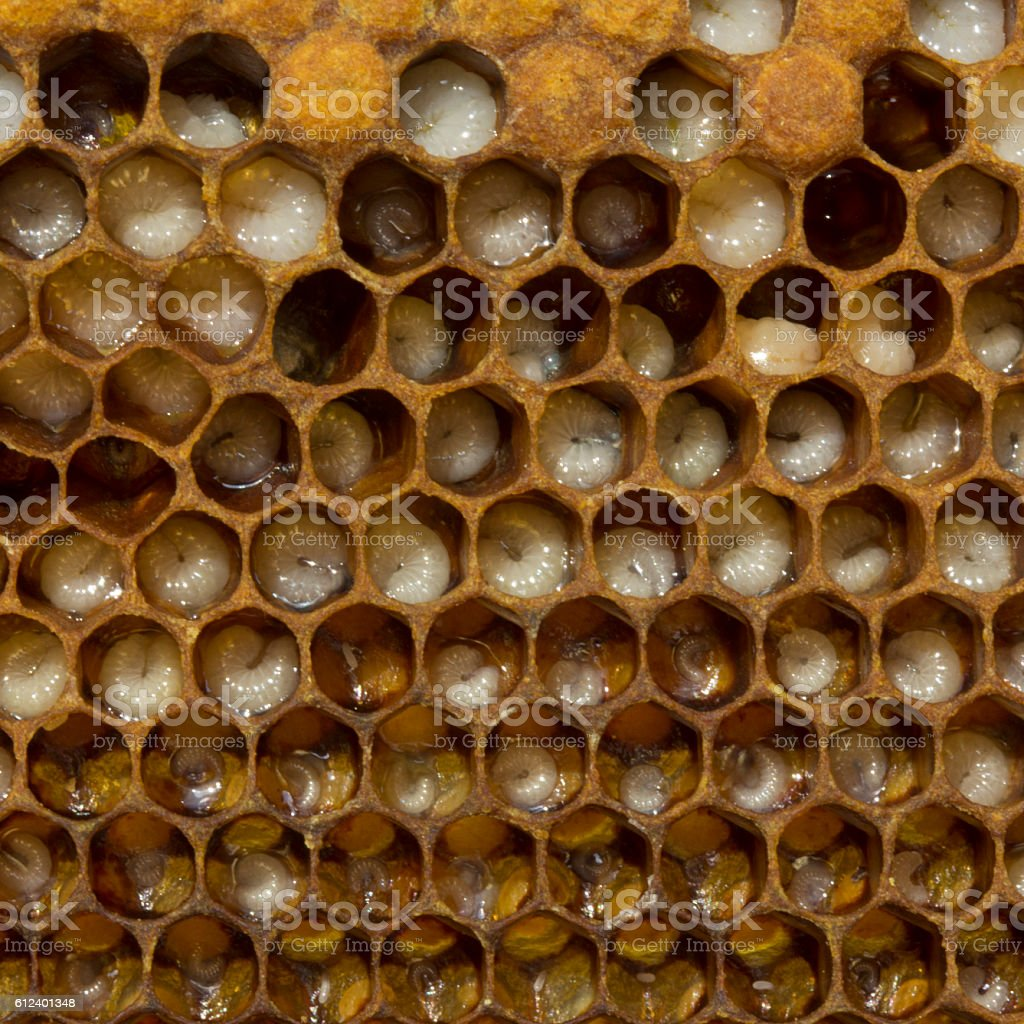 Eggs, larvae and cocoons bee stock photo