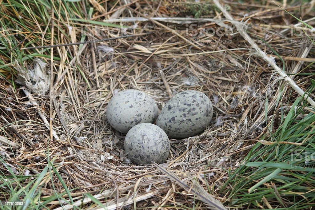 eggs of Yellow-legged Gull (or Yellowlegs): Larus michahellis eggs of Yellow-legged Gull (or Yellowlegs): Larus michahellis Animal Egg Stock Photo