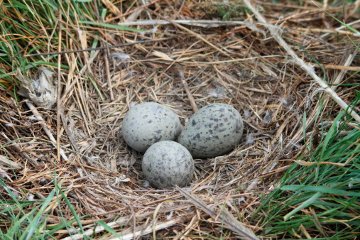 Eggs Of Yellowlegged Gull Larus Michahellis Stock Photo - Download Image Now