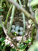Eggs from oval strong shell waiting their mother in nest. Nest with young white eggs protected by thick shell. Nest bird consists of tree branches natural nature, heap round eggs with calcium shell.