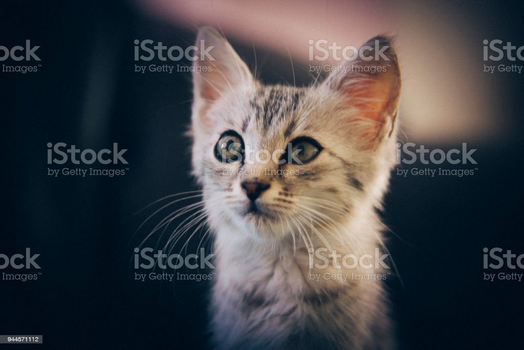 Egiptian May Kitty stock photo