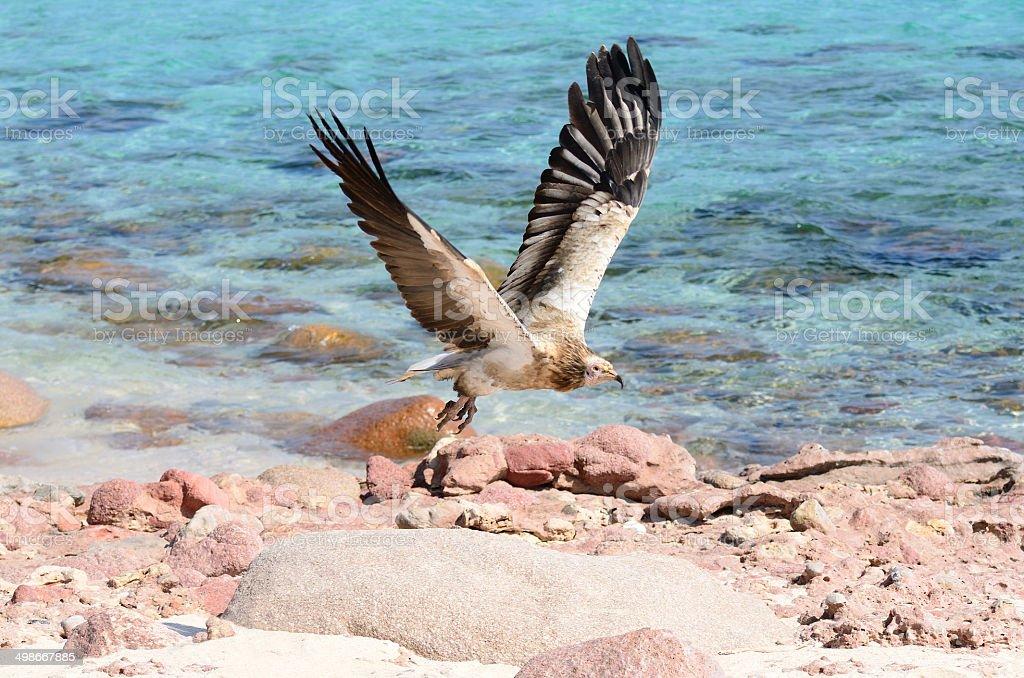 Egiptian vulture (Neophron Percnopterus) in flight over the sea stock photo