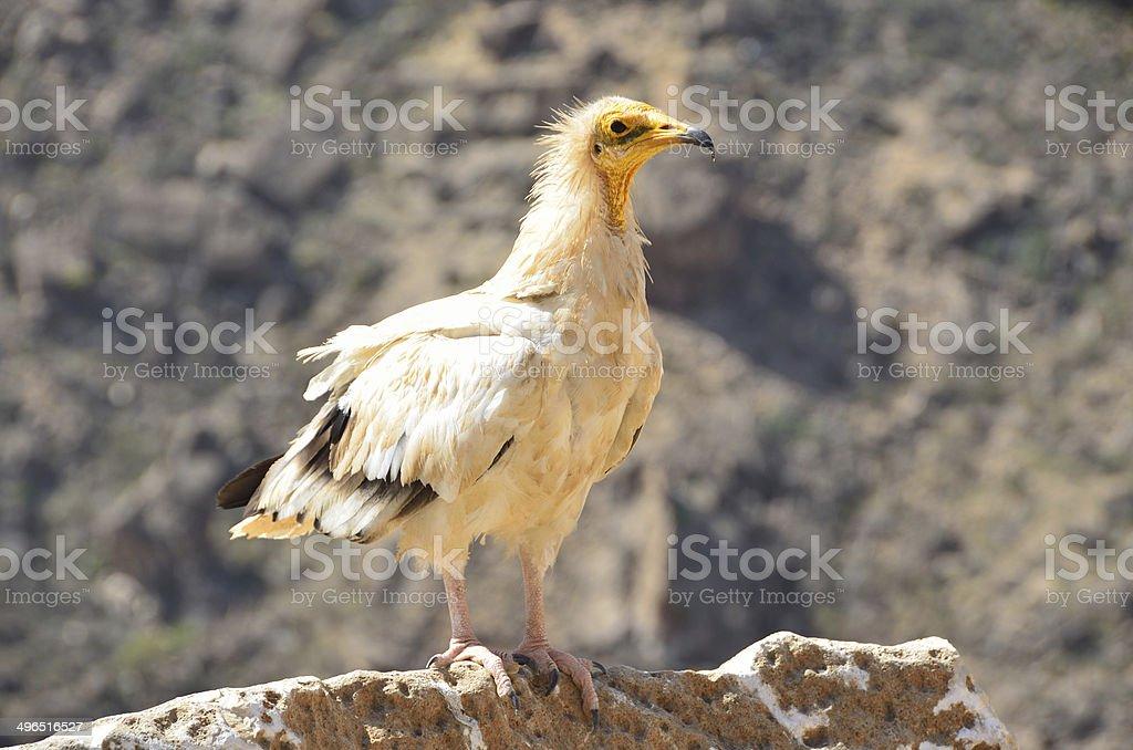 Egiptian vulture (Neophron Percnopterus) on Sokotra island stock photo