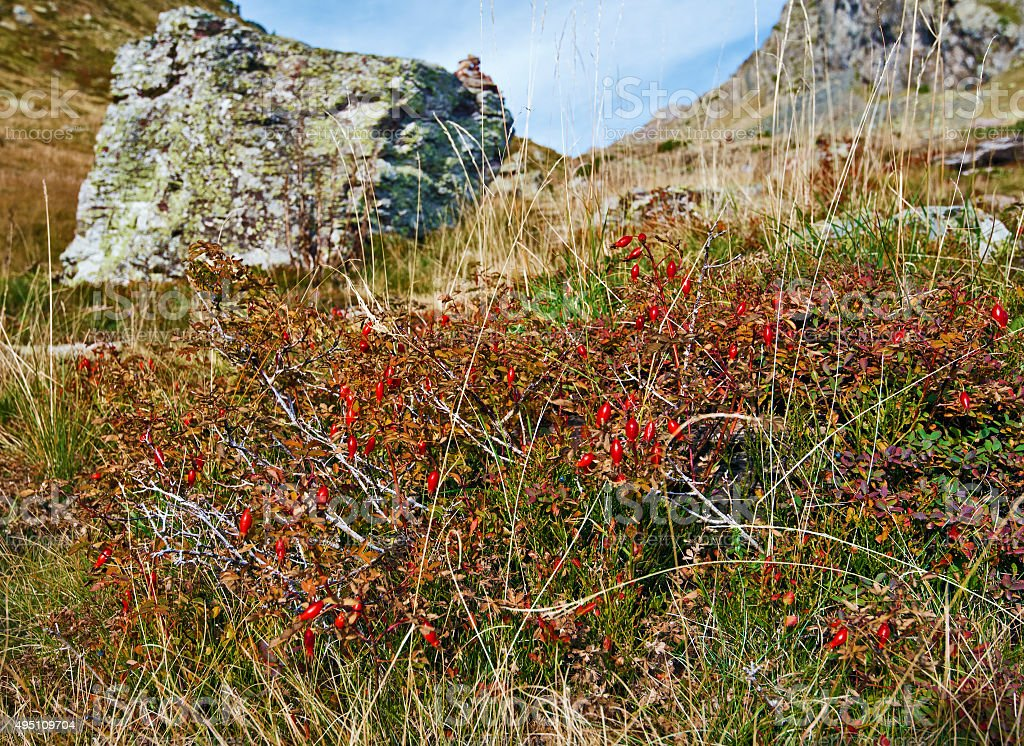 Eglantine shrub covered with red hips in Pyrenees Mountains stock photo