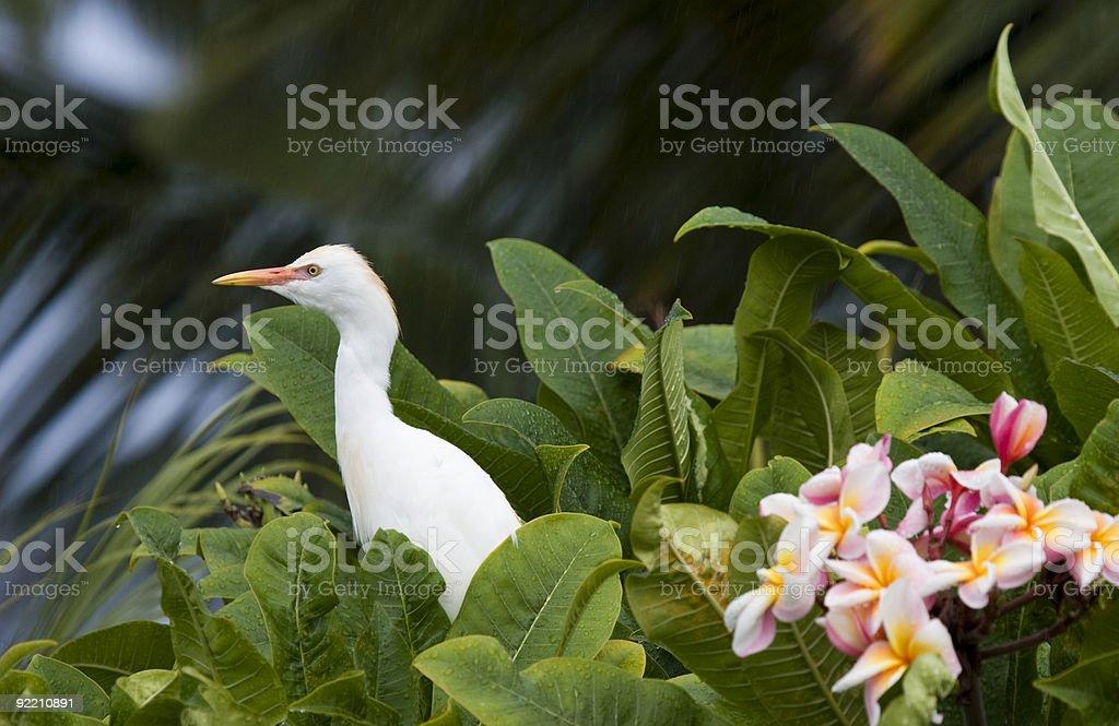 Egret and Plumeria royalty-free stock photo