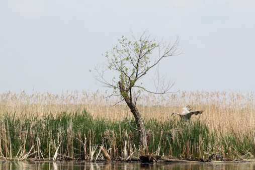 Egret and solitary tree near river