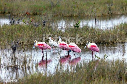 Four Roseate Spoonbills (Platalea ajaja) and an Egret  found at a Marsh in the wintertime near the eastern coastline of Florida in the Merritt Island Wildlife Preserve