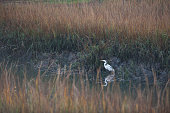 Egret at Stem Creek of Mt Pleasant, South Carolina, USA.