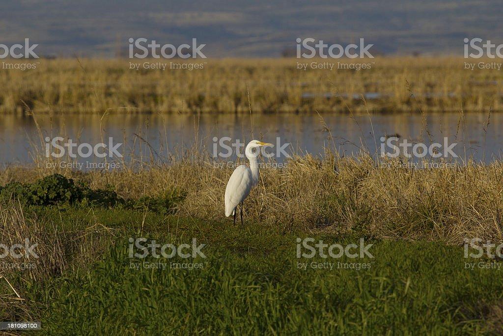Egret at sundown stock photo