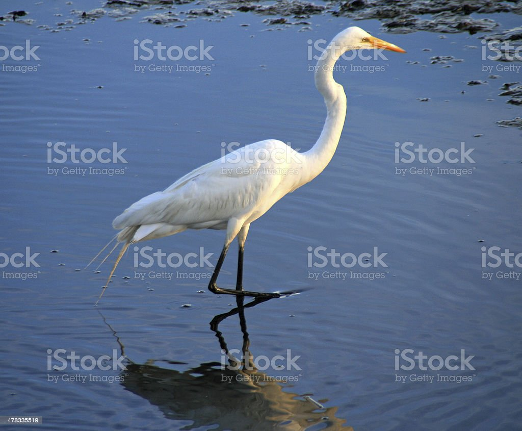 Egret At The Marsh royalty-free stock photo