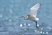 Egret Bird Flying\n\nPlease view my portfolio for other wildlife photos.