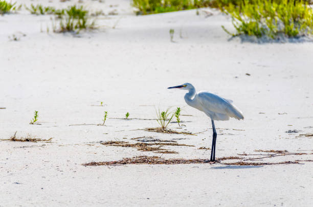 silberreiher vogeljagd auf tropischen ozean strandsand. - wilde hilde stock-fotos und bilder