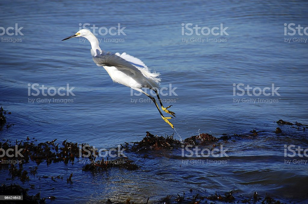 Egret Bird Leaping royalty-free stock photo