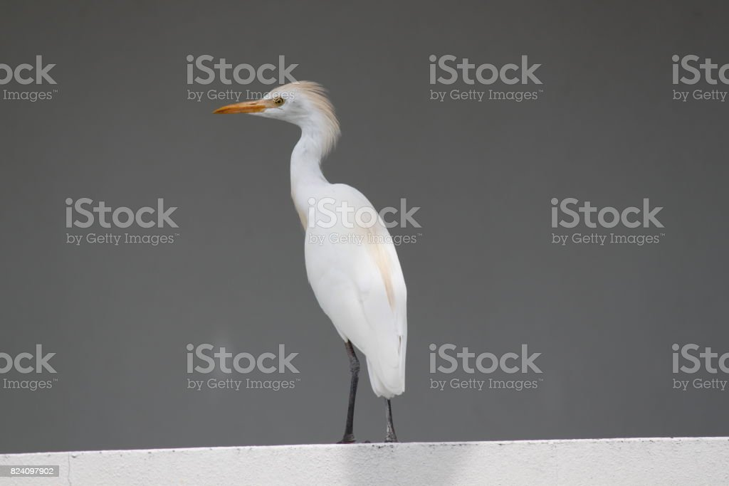 Egret Bird stock photo