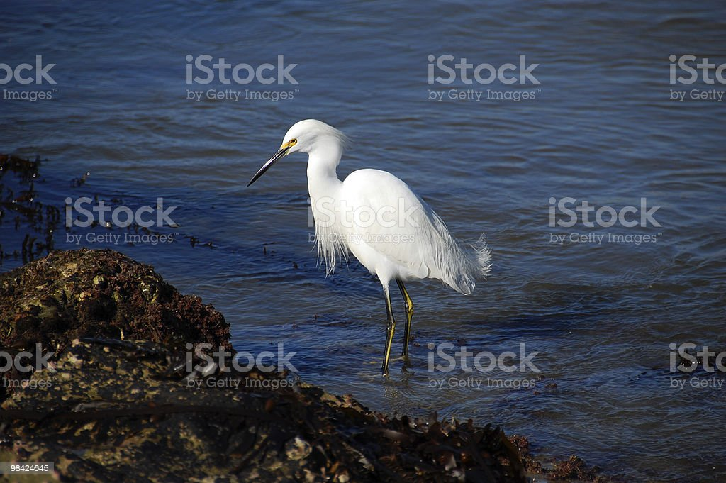 Egretta uccello foto stock royalty-free