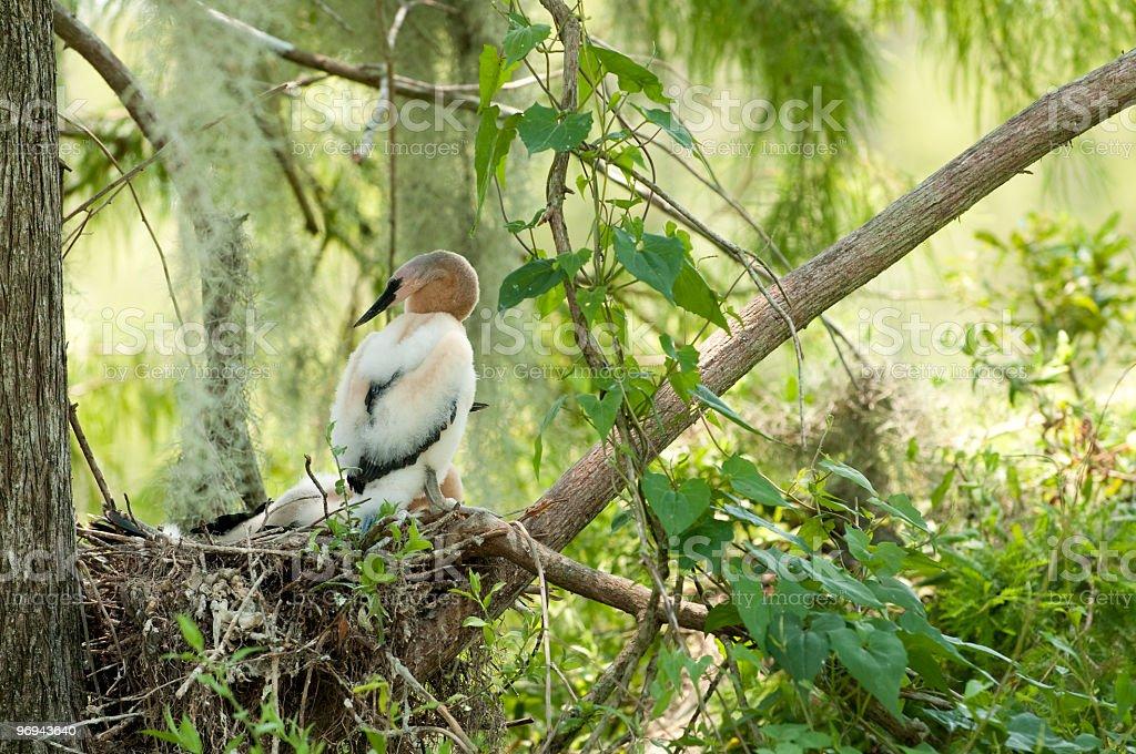 Egret Chicks royalty-free stock photo