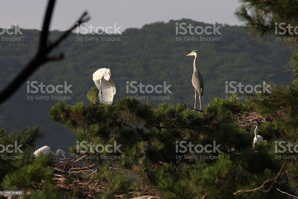 Egret Dacing stock photo