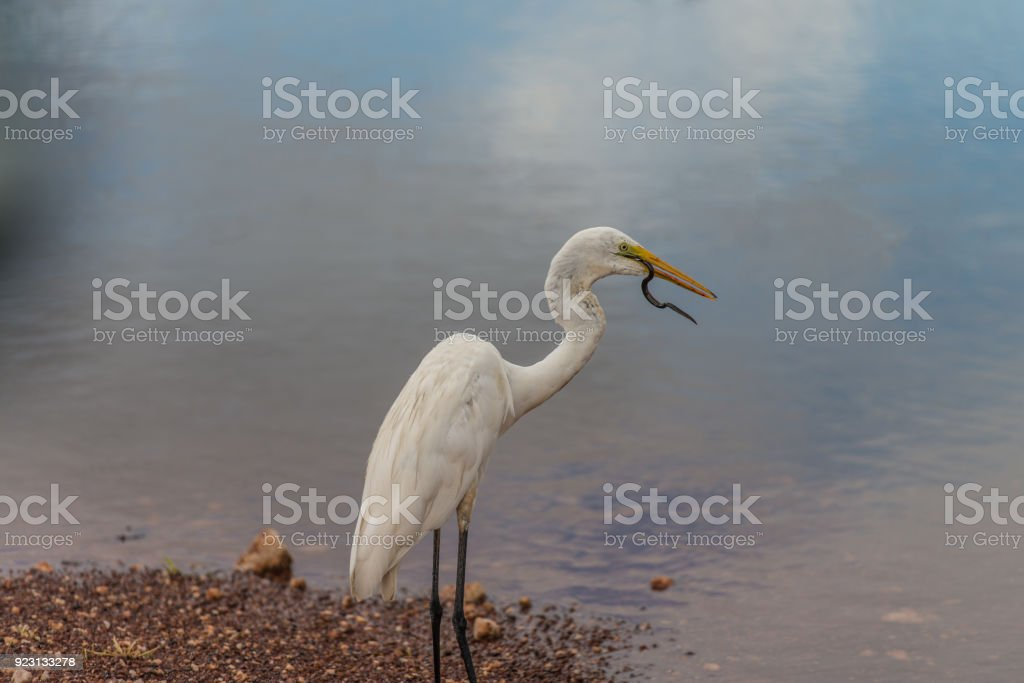 Egret eating snake at Fogg Dam, Northern Territory stock photo