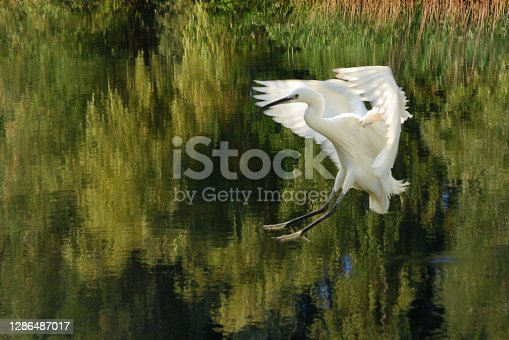 Above a pond with reflection of green trees is landing an Egretta garzetta ( little egret). This spieces have yellow foots.