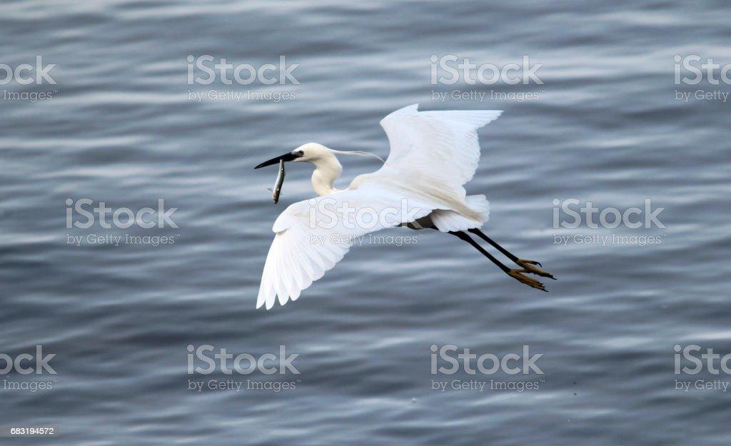Egret fish 免版稅 stock photo