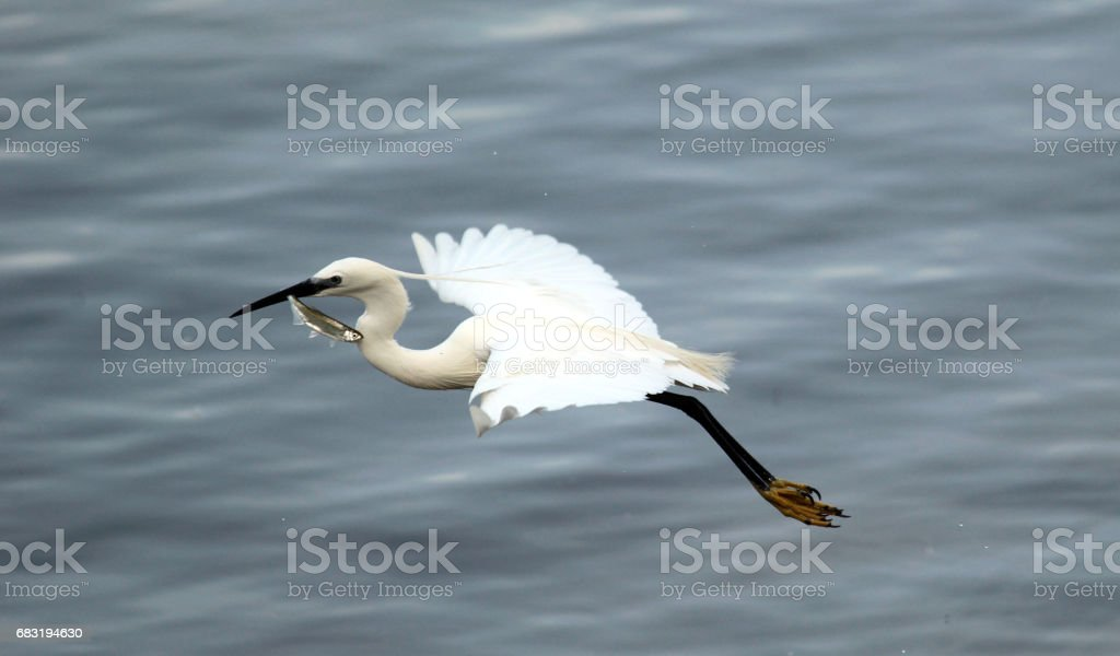 Egret fish royalty-free 스톡 사진