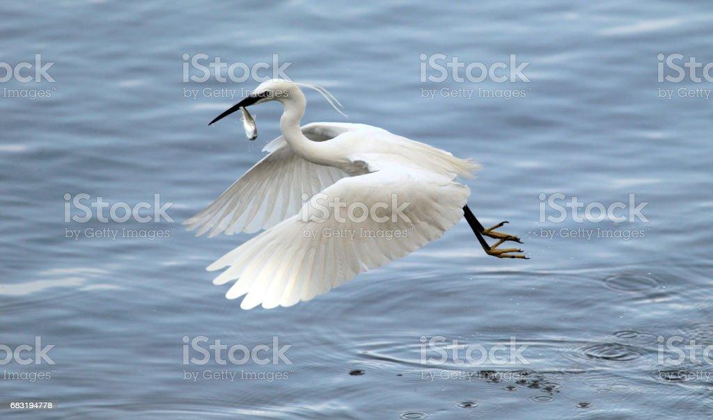 Egret fish royalty-free 스톡 사진