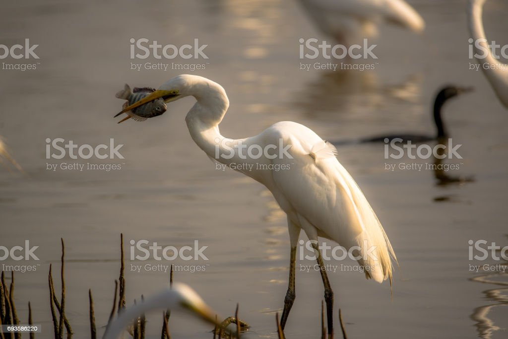 Egret Fishing stock photo
