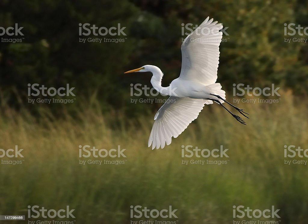 Egret Flying across the marsh stock photo