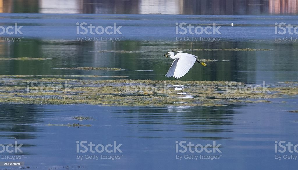 Egret flying stock photo