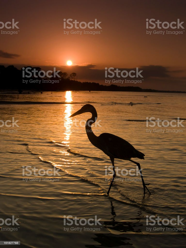Egret Hunting along beach. stock photo