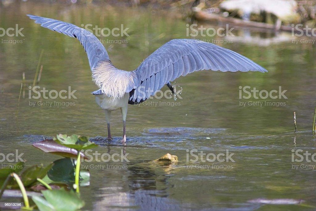 Egret hunting in the Everglades - Royaltyfri Blå Bildbanksbilder