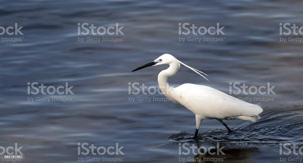 Egret hunting royalty-free 스톡 사진