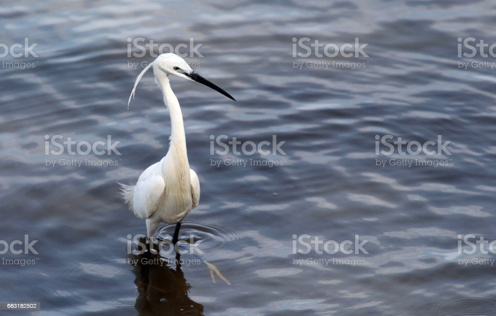 Egret hunting 免版稅 stock photo