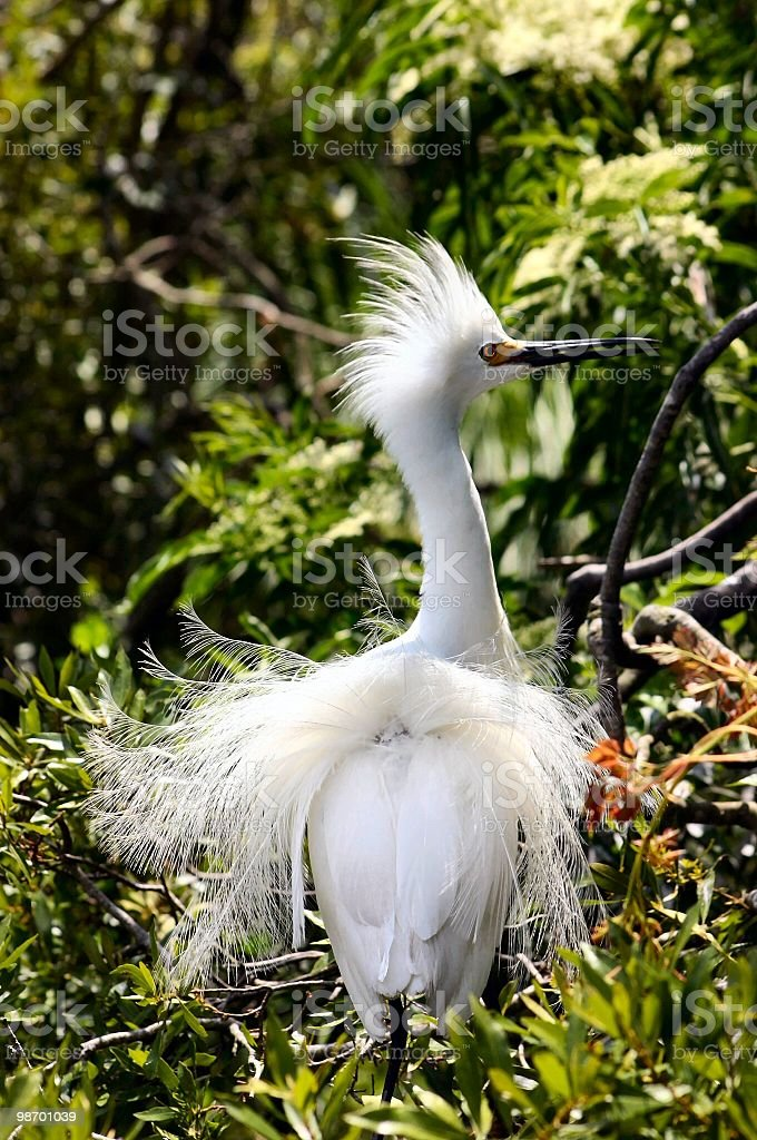 Egretta in piena allevamento plumage foto stock royalty-free