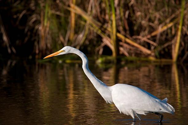 Egret in pond stock photo