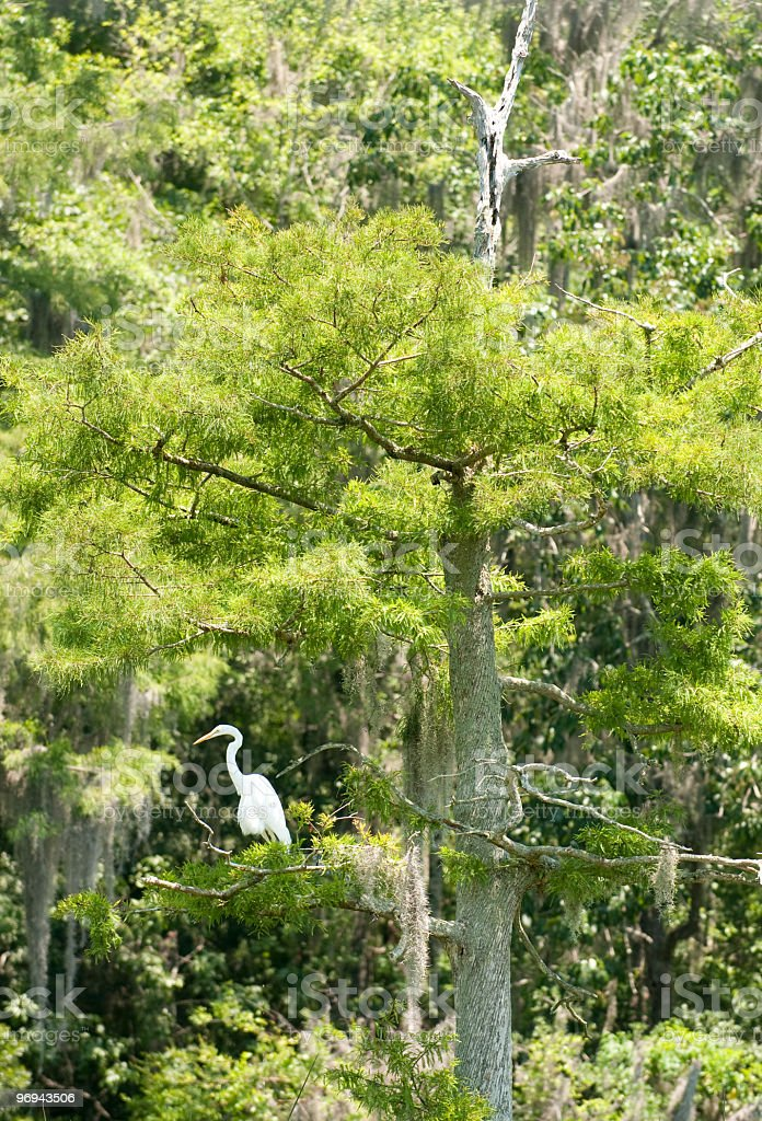 Egret in swamp royalty-free stock photo