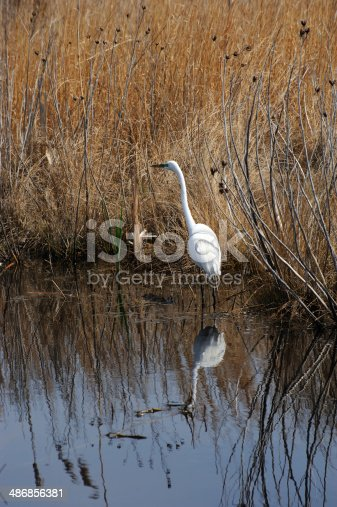 View of a Great Egret walking through the wetland grasses, Cape May, New Jersey.