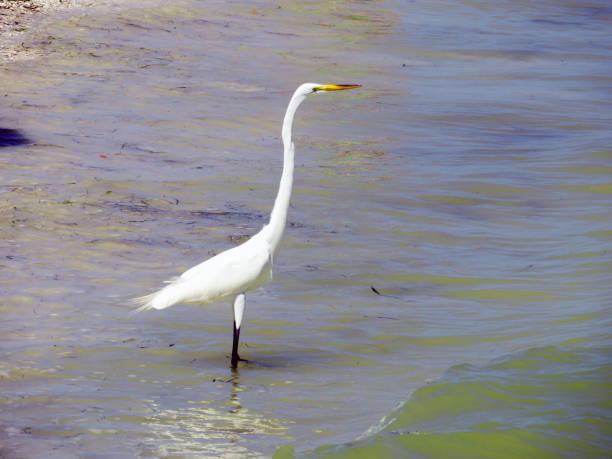 Egret in the Ocean stock photo