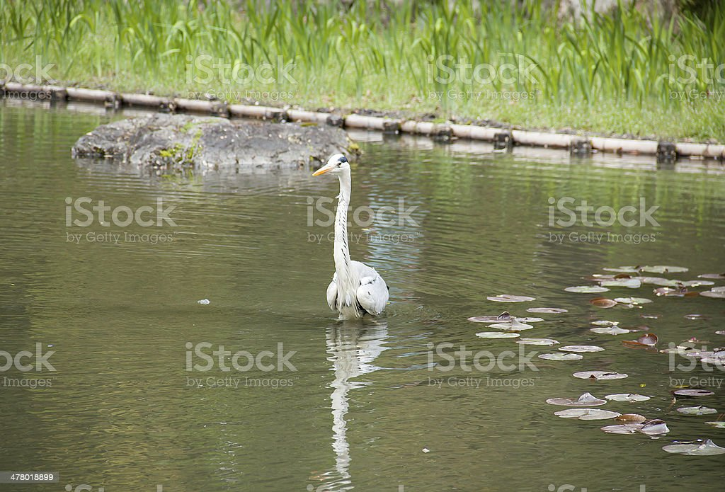 Egret in the pond. royalty-free stock photo