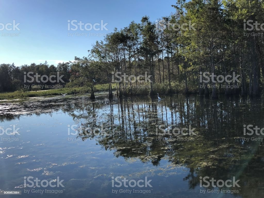 egret in the swamp stock photo