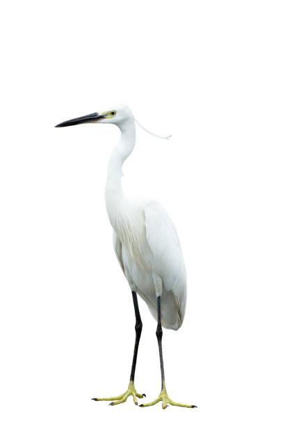 beyaz arka planda yalıtılmış egret - balıkçıl stok fotoğraflar ve resimler