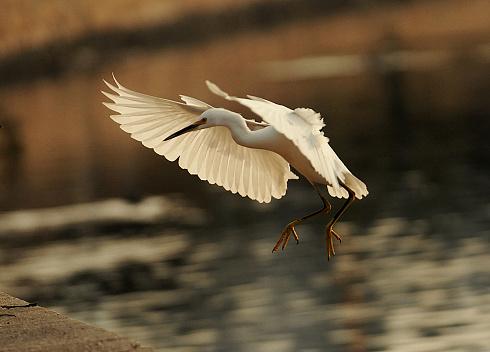 Snowy Egret landing at the edge of Lake Merritt, Oakland.