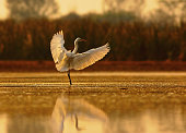 egret is showing wings in beautiful light of morning with beautiful background