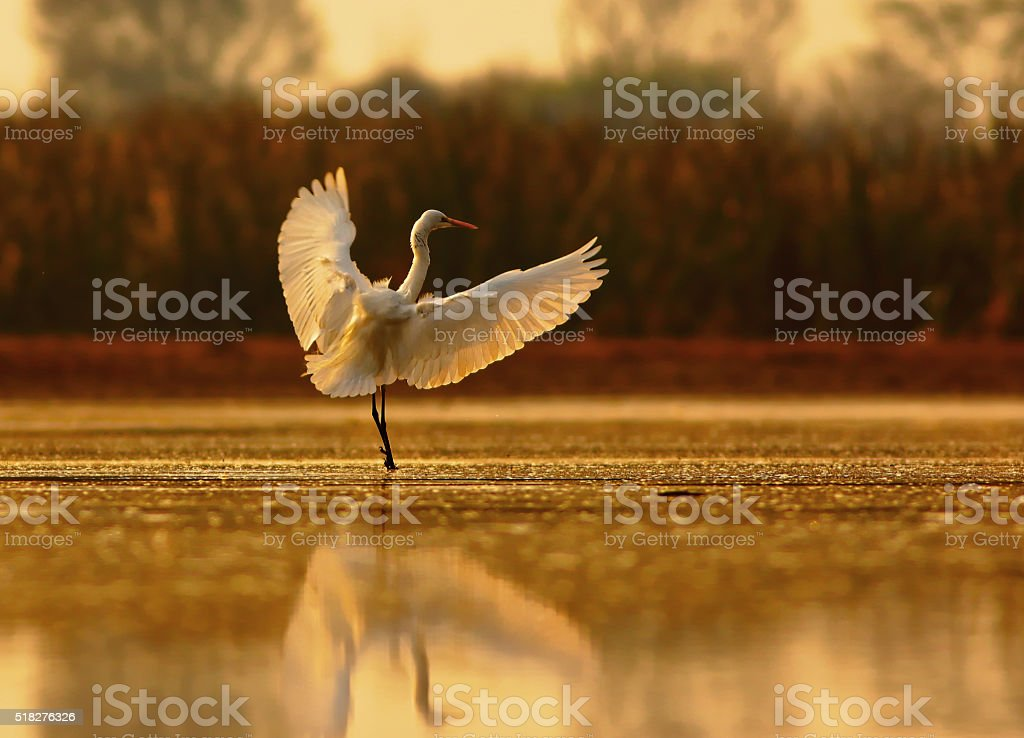 Egret landing stock photo